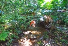 Rainforest_5 (Tony Markham) Tags: missinghamsteps budderoonationalpark kangarooriver wet slippery steep dangerous rainforest fungi fungus pleurotus