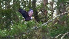 Flyby Glance (John Kocijanski) Tags: baldeagle eagle bird birdofprey animal wildlife nature wings flying flight canon400mmf56 canon7d