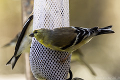 BackyardBirds_1-21-19-40 (RobBixbyPhotography) Tags: florida goldfinch jacksonville backyard birds