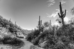 Path of Least Resistance (RoamingTogether) Tags: angiosperms arizona blackandwhite cactaceae cactus carnegieagigantea caryophyllales eudicotidae eudicots eudicotyledons floweringplants freemanhomesteadtrail hdr hiking nationalpark nikon nikon20mm28 nikond700 saguaro saguarocactus saguaronationalpark tucson