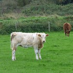 Calf in pasture near Point of Ayre, Isle of Man thumbnail
