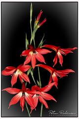 004 5547  - Gladiolus priorii (Antirrhinum) Tags: rhswisley flora gladiolus flower alpine