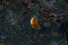 rouge gorge (jeff2310) Tags: oiseau rouge gorge