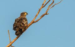 Juvenile Bald Eagle (Lynn Tweedie) Tags: wood baldeagle beak tail wing canon ngc animal loessbluffsconservationarea 7dmarkii missouri tree bird sigma150600mmf563dgoshsm sky eye eos winter feathers branch