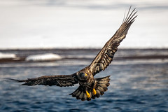 Cornering (jmishefske) Tags: mature immature bald 2019 nikon necedah dam bird d500 flying petenwell february wisconsin eagle bif juvenile