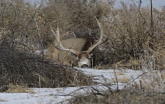 Big Mule Deer Buck Totally Relaxed And Sleeping (fethers1) Tags: rockymountainarsenalnwr rmanwr rmanwrwildlife coloradowildlife deer muledeer buck sleepingbuck