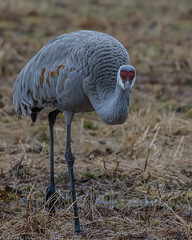 Eye contact (Fred Roe) Tags: nikond7100 nikonafsnikkor200500mm156eed nature naturephotography national wildlife wildlifephotography birds birding birdwatching birdwatcher crane sandhillcrane antigonecanadensis colors flickr outside animals