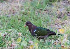 Pacific Emerald Dove (Stewart M) Tags: 2019 australia dove emeraldgrounddove lhi lordhoweisland nsw newsouthwales pigeon pinetreeslodge chalcophapslongirostris