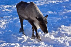 Reindeer, Chena Hot Springs Resort, Alaska (R-Gasman) Tags: travel reindeer chenahotspringsresort alaska usa