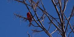 03-17-2019 Cardinal IMG_4609-Pan (mnchilemom) Tags: birds cardinal spring