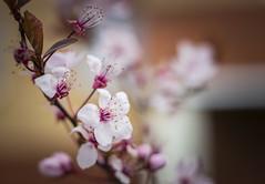Soft and beautiful 🌸 (Julie Greg) Tags: flower flowers tree soft colours canon canon77d nautre park england kent
