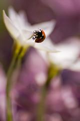 (Red 'N Spots) Tags: ladybugs ladybirds ladybug ladybird animal animals beetle beetles bug bugs flower flowers macro macrophotography nature naturephotography nikon tamron bokeh spring
