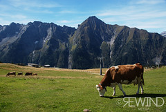 Cows enjoying the fields (1978M) (nickbk15) Tags: austria mountains austrian cows flied 1978m altitude ahorn bahn zillertal tirol mayrhofen cow cowbells