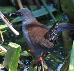 Spotless Crake (Porzana tabuensis) (iainrmacaulay) Tags: bird australia spotlerss crake porzana tabuensis