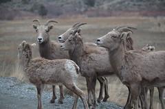 "Baker County Tourism – www.travelbakercounty.com 51432 (TravelBakerCounty) Tags: oregon ""easternoregon"" ""bakercountytourism"" travelbakercounty ""bakercounty"" ""scenicdrive"" roadtrip wildlife ""watchablewildlife"" ""burntrivercanyon"" travel tourism backroads scenicdrives sheep ""bighornsheep"""