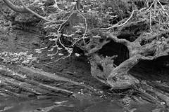 DaneBank (Tony Tooth) Tags: nikon d600 nikkor 105mm tree rock river riverbank riverdane bw blackandwhite monochrome danebridge staffs staffordshire cheshire