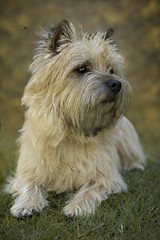 Cairn Terrier (Fabi's Photography) Tags: cairn terrier dog chien