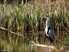 Le Héron ! (Milucide) Tags: héron étang oiseau eijsden hollande