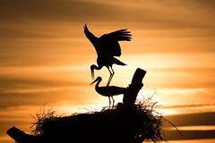 DelPréstamo - 2019   -   1-2 (Del_Préstamo) Tags: naturaleza cigüeñas aves reservanatural