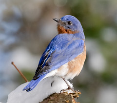 Bluebird in snow (tresed47) Tags: 2019 201901jan 20190114marylandbirdsbb birds blackwaternwr bluebird canon7dmkii content folder january maryland peterscamera petersphotos places season takenby us winter