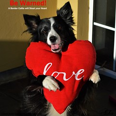 A Dog will steal your heart (ASHA THE BORDER COLLiE) Tags: valentines heart love funny border collie dog picture cushion ashathestarofcountydown connie kells county down photography