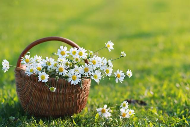 Обои лето, корзина, ромашки картинки на рабочий стол, раздел цветы - скачать