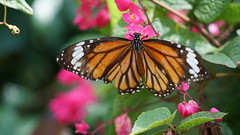 2019-02-11_12-35-59_ILCE-6500_DSC02752 (Miguel Discart (Photos Vrac)) Tags: 165mm 2019 animal animalphotography animals animalsupclose animaux butterfly chiangmai e18135mmf3556oss fleurs flowers focallength165mm focallengthin35mmformat165mm holiday ilce6500 iso800 nature naturephotography papillon pet sony sonyilce6500 sonyilce6500e18135mmf3556oss thailand thailande travel vacances voyage