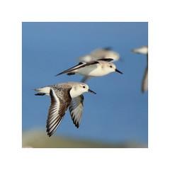 Bécasseaux sanderling (Loïc Gouyette) Tags: bécasseau sanderling bretagne seabird