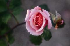 Paul Bocuse      Kinochrome Anastigmat (Kinoptik)  F=100mm  1:2.8 (情事針寸II) Tags: クローズアップ 自然 花 薔薇園 薔薇 closeup projectionlens bokeh nature fleur flower rosegarden rose kinochromeanastigmatkinoptikf100mm128