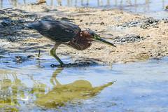 Héron vert, (denis.loyaux) Tags: ardéidés butoridesvirescens denisloyaux greenheron héronvert nikond850 pélécaniformes bird martinique oiseau