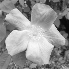 Rose Test, Brightest (sjrankin) Tags: 6march2019 edited closeup rose yunigarden yuni hokkaido japan flower test app output grayscale petal plants bright