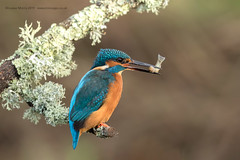Caught! (Louise Morris (looloobey)) Tags: m0a2490 kingfisher fish beak perched worcestershire nigel 1117 hide