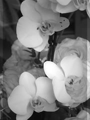 harada-flowers-78 (annie harada) Tags: flowers hana blumen fleurs bouquet noir et blanc black white