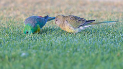 Red-rumped Parrots (RoosterMan64) Tags: adelaide australia australiannativebird bird nature redrumpedparrot wildlife