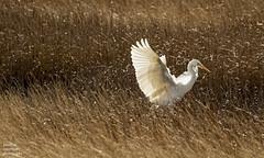 Great White Egret (jonathancoombes) Tags: greatwhiteegret egret white bird nature wildlife explore parkgate wirral merseyside cheshire