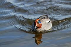 Sunny Teal (ray 96 blade) Tags: teals ducks springwatch birds enjoyingthesunshine intheswim bestviewedlarge grovestodmarshnnr wildlife kent