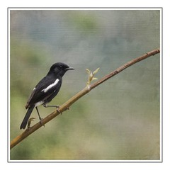 Oriental Magpie-Robin (ulli_p) Tags: asia art artofimages aworkofart bird birds canon750d flickraward orientalmagpierobin texture textured texturedphoto thailand