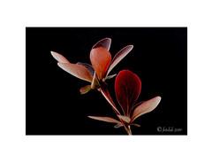 Agracejo rojo. (EFD-fotolab) Tags: macro macrofotografia efdfotolab nikkor105mm nikond610 nikon españa primavera2019 naturaleza leaves hojas plantas agracejorojo