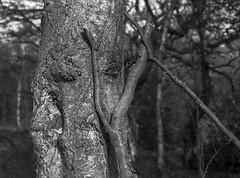 Hyons Wood. Mamiya 645E. HP5+ in Ultrafin (Jonathan Carr) Tags: hyonswood blackandwhite monochrome mediumformat trees woodland ancient rural northeast landscape