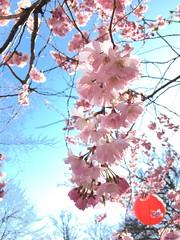 Hanami (_jdj_) Tags: hanami iphone gothenburg cherryblossoms