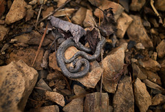 New Year's Day Snake (Jen MacNeill) Tags: snek snake baby animal rock nature black