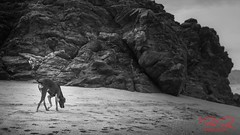 Dog walks (RoManLeNs) Tags: outdoors outside day daytime artistic blackandwhite bw desaturated monochrome beach sand sandybeach water nature traveling travel traveldestinations warmweather salty waves humidity humid animals mammals dog dogs walking footprint exploring ocean sea h2o alive life romanlens romrom magicmoment rom