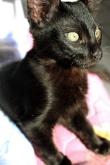 batman pose (sarrajaoui13) Tags: photography light cute pet animal gaze eyes wild throwback black old kitten cat batman canoneos74th