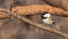 Black-capped Chickadee (Lynn Tweedie) Tags: wood beak tail canon ngc animal 7dmarkii missouri sigma150600mmf563dgoshsm bird chickadee tree winter eos feathers eye white