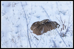 IMG_0002 Brown Hare In The Snow (Scotchjohnnie) Tags: europeanhare brownhare hare lepuseuropaeus lepus leporidae wildanimal wildlife wildlifephotography winter canon canoneos canon7dmkii canonef100400f4556lisiiusm scotchjohnnie mammal wildandfree snow animal