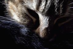 Séance photo avec Tigrette     4 (Evim@ge) Tags: chat cat pet cute mignon tigré « animal de compagnie » intérieur intérior closeup