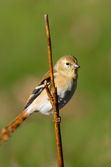 American Goldfinch  in the Backyard (jgaosb) Tags: american jaygao water winter bird bath grass goldfinch nature wildlife beautiful interesting lovely best most famous single adorable romantic cute