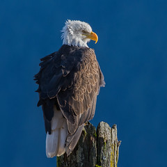 Contrasting light (nickinthegarden) Tags: americanbaldeagle baldeagle eagle harrisonriver harrisonmillsbccanada