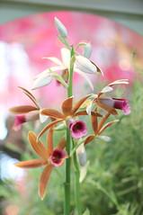 109. Orchid (Misty Garrick) Tags: arboretum universityofminnesotalandscapearboretum landscapearboretum flowershow