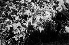 Out of focus, but I still like it (Matthew Paul Argall) Tags: canonsnappy20 fixedfocus 35mmfilm blackandwhite blackandwhitefilm kentmere100 100isofilm leaves